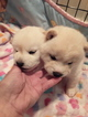 Shiba Inu Puppy For Sale in MAXWELL, NM, USA