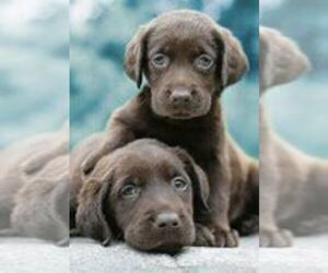 Labrador Retriever Puppy for Sale in SOUTH BEND, Indiana USA