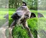 Small #35 Staffordshire Bull Terrier