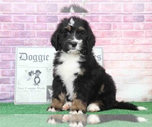 Bernedoodle Puppy for Sale in BEL AIR, Maryland USA