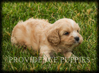 Cavapoo Puppy For Sale in WAYLAND, IA, USA