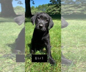Labrador Retriever Puppy for sale in BAXTER, MN, USA