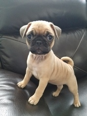 Frenchie Pug Puppy For Sale in JOHNSTON, RI, USA