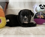 Small Photo #3 French Bulldog Puppy For Sale in JOHNS ISLAND, SC, USA