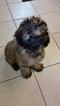 Soft coated wheaten terrier puppy