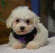 Bichon Frise Puppy For Sale in TUCSON, AZ, USA