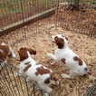 Brittany Puppy For Sale in TATE, GA, USA
