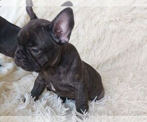 French Bulldog Puppy for sale in GOLDEN ISLES, FL, USA