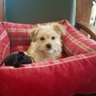 Morkie Puppy For Sale in LOS ANGELES, California,