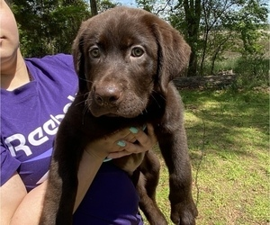 Labrador Retriever Puppy for sale in CARROLLTON, VA, USA