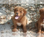 Golden Retriever Puppy For Sale in HIGH POINT, NC, USA
