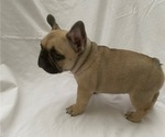 Small #6 French Bulldog