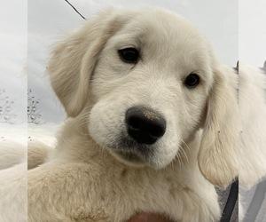 English Cream Golden Retriever Puppy for sale in ELDORADO, OH, USA
