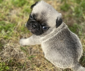 Pug Puppy for Sale in SUMTER, South Carolina USA