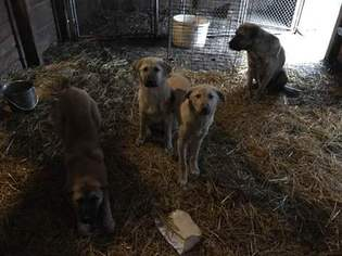 Anatolian Shepherd Puppy For Sale in KENDALLVILLE, IN