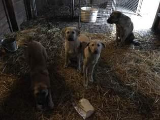 Anatolian Shepherd Puppy for sale in KENDALLVILLE, IN, USA