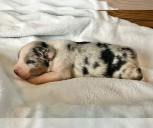 Australian Shepherd Dog for Adoption in LODA, Illinois USA