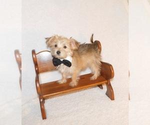 Morkie Dog for Adoption in WARRENSBURG, Missouri USA