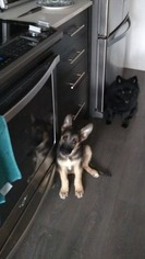 German Shepherd Dog Puppy For Sale in Scarborough, Ontario, Canada