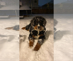 Bernese Mountain Dog Puppy for sale in CASTLE ROCK, CO, USA