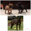 Bullmastiff Puppy For Sale in HOLLYWOOD, Florida,