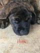 Puppy 9 Mastiff