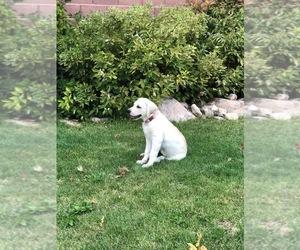 Labrador Retriever Puppy for sale in CEDAR CITY, UT, USA