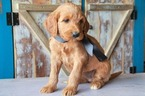 Goldendoodle Puppy For Sale in HUDSON, NC, USA