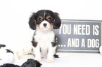 Cavalier King Charles Spaniel Puppy For Sale in NAPLES, FL, USA