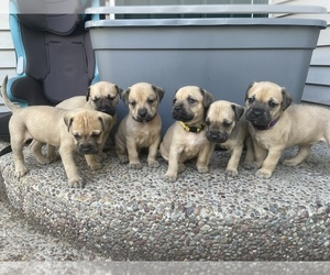 American Pit Bull Terrier-Mastiff Mix Puppy for Sale in HAUSER, Idaho USA