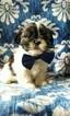 Adorable Shih Tzu Puppy