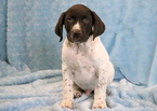 German Shorthaired Pointer Puppy For Sale in MOUNT JOY, PA, USA
