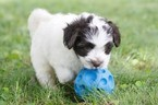 Havanese Puppy For Sale in MANTORVILLE, MN, USA