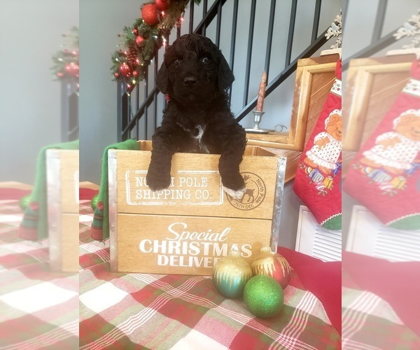 Medium Photo #6 Poodle (Standard) Puppy For Sale in ROGERSVILLE, AL, USA