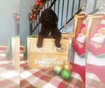 Small Photo #6 Poodle (Standard) Puppy For Sale in ROGERSVILLE, AL, USA