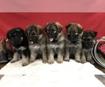 German Shepherd Dog Puppy For Sale in PENDLETON, OR, USA