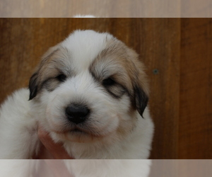 Great Pyrenees Puppy for Sale in MONTICELLO, Utah USA