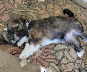 Lhasa Apso Puppy for sale in HESPERIA, CA, USA