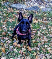 Medium Scottish Terrier Mix