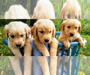Golden Retriever Puppy for Sale in FERRUM, Virginia USA