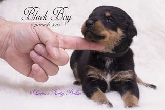 Rottweiler Puppy For Sale in OWINGSVILLE, KY, USA