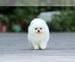 Small Photo #4 Pomeranian Puppy For Sale in CINCINNATI, OH, USA