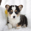Pembroke Welsh Corgi Puppy For Sale in GAP, Pennsylvania,
