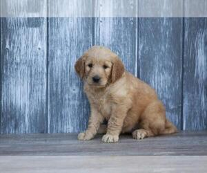 Goldendoodle-Unknown Mix Puppy for sale in KENDALL, FL, USA