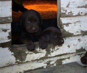 Labrador Retriever Puppy for Sale in BELLINGHAM, Minnesota USA