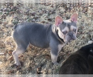 Father of the French Bulldog puppies born on 05/28/2019