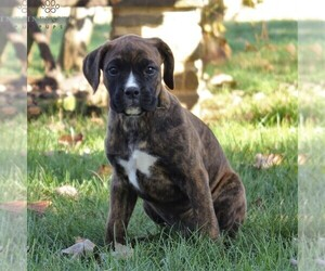 Boxer Puppy for sale in GORDONVILLE, PA, USA
