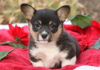 Welsh Corgi Puppy For Sale