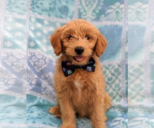 Pookimo Puppy for sale in LANCASTER, PA, USA