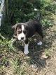 Australian Stumpy Tail Cattle Dog-Bagle Hound Mix Puppy For Sale in ROSHARON, TX, USA
